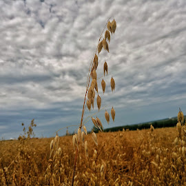 wheat by Zachary Taylor - Instagram & Mobile Android ( clouds, wheat, mobilography, blue, yelow )