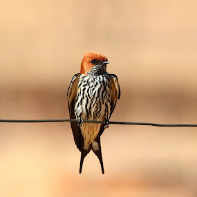 Summer Swallow by Andrew Keys - Animals Birds ( south africa, migrant, swallow, lesser-striped swallow, africa, birds )