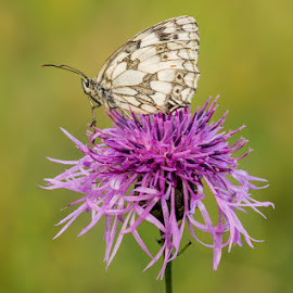 Marbled White by Luc Cassiman - Animals Insects & Spiders