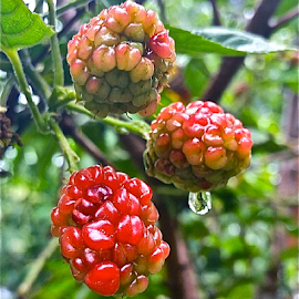 { Dew Berry's after the rain ~ 29 July }  by Jeffrey Lee - Nature Up Close Gardens & Produce ( { dew berry's after the rain ~ 29 july } )
