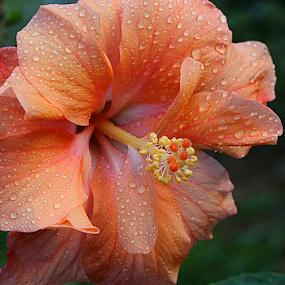 by Carmen Quesada - Flowers Single Flower ( orange, single, color, petals, waterdrops, flowers,  )