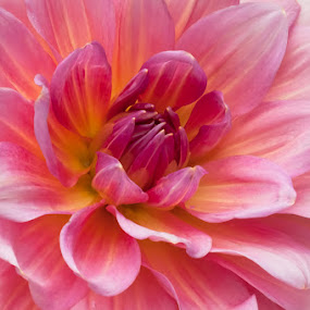 Pinkish by Paula Eagle - Nature Up Close Flowers - 2011-2013 ( dahlia )