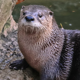 Take My Picture Please by Kimberly Sharp - Uncategorized All Uncategorized ( canon, playful, otter, cute, aquatic mammal, river other )