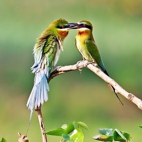 Mating Mood by Jineesh Mallishery - Animals Birds ( jineesh, birds, beaeater )
