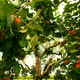 Apple Fest by Nancy Tonkin - Nature Up Close Trees & Bushes