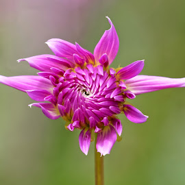 Dahlia 9847 by Raphael RaCcoon - Flowers Single Flower
