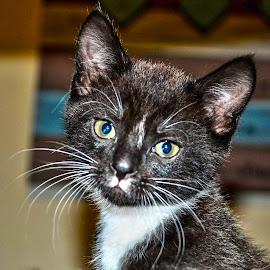 Kitten by Stephen Fouche - Animals - Cats Kittens