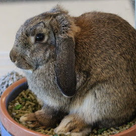 Rabbit sitting in pot by Terry Linton - Animals Other Mammals