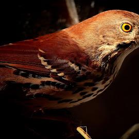 Brown Thrasher  by Paul Mays - Animals Birds