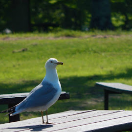 Seagull at Pattison Park by Lisa Bergstrom - Novices Only Wildlife
