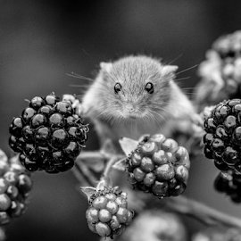 Mouse by Garry Chisholm - Black & White Animals ( mice, nature, harvest mouse, garrychisholm, rodent, mammal )