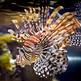 scorpion fish by Pungky K - Animals Fish