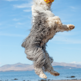 pure joy  by Michael  M Sweeney - Animals - Dogs Playing ( playing, joyful, joy, old english sheepdog, michael m sweeney, nikon )
