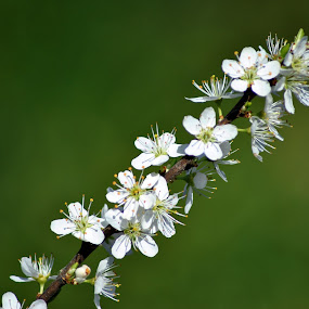 The beauty of white by Paula NoGuerra - Flowers Tree Blossoms ( white flowers, flowers, springtime, spring, blossom,  )