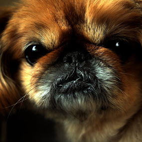 Baby Bella by Giantfromsiberia Photographer - Animals - Dogs Portraits ( dog, small )