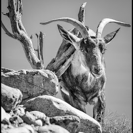 Mountain Sheep by Dave Lipchen - Black & White Animals ( mountain sheep )