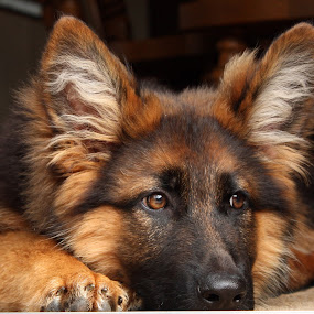 German Shepherd Puppy by Irene Helmholdt - Novices Only Pets ( puppy, german shepherd )