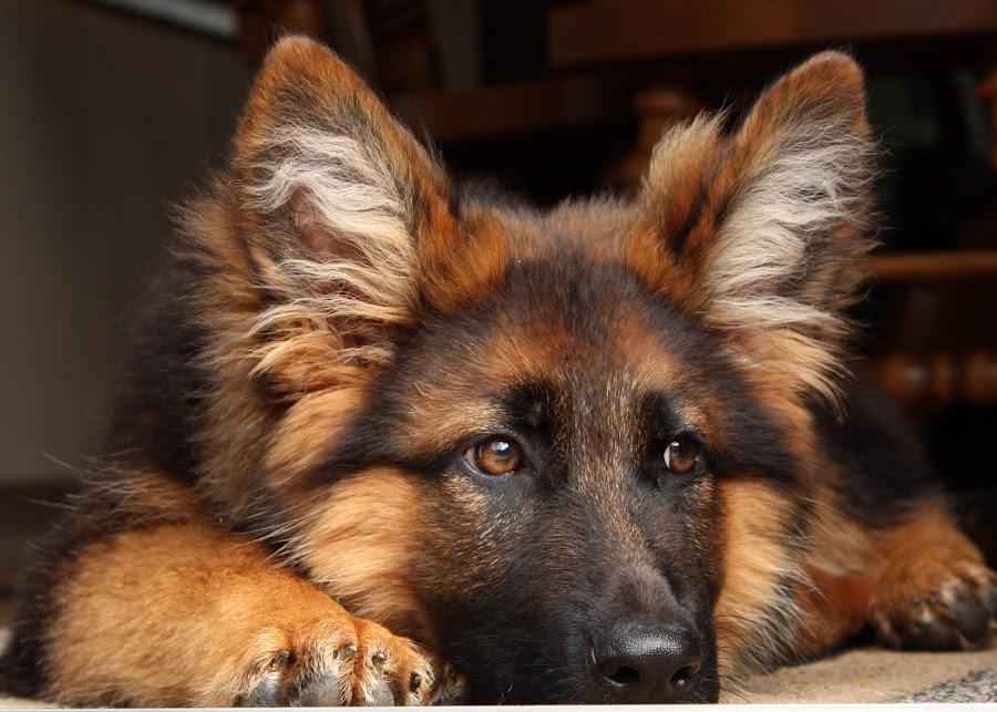 German Shepherd Puppy by Irene Helmholdt - Novices Only Pets ( puppy, german shepherd )