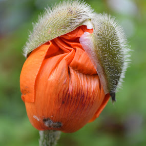 Poppy popping by Nigel Hook - Flowers Single Flower (  )