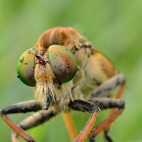 robberfly by Ardhy Muhammad - Animals Insects & Spiders