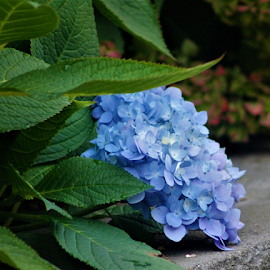 November Hydrangea by Leah Zisserson - Flowers Flower Gardens ( november, park, blue, hydrangea, massachusetts, flower,  )