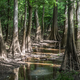 Bald Cypress by Mike Watts - Landscapes Forests ( water, congaree, cypress, ball cypress )