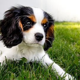 Puppy in Spring by Luke Porter - Animals - Dogs Puppies ( cute puppy, grass, puppy play, pup, puppy, cavalier king charles, dog, king charles spaniel )