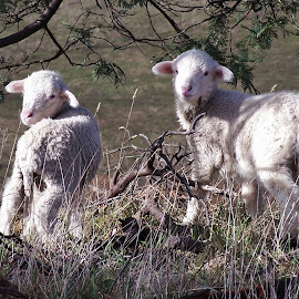 Lil Lambs by Sarah Harding - Novices Only Pets ( farm, colour, novices only, lamb, country )