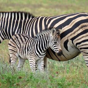 by Lanie Badenhorst - Animals Other Mammals