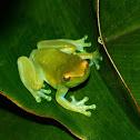 Orinoco Lime tree frog