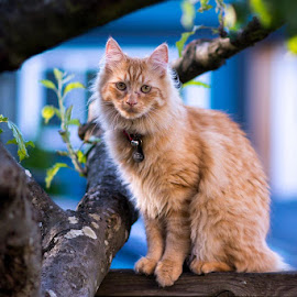 Cool Cat by Gary Dobbin - Animals - Cats Portraits ( cat, yard, ginger, light, tabby, portrait )