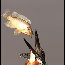 Catch of the day by Romano Volker - Animals Birds (  )
