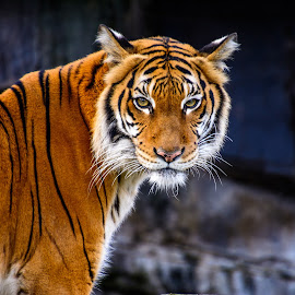 Tiger by Kelly Marley - Animals Lions, Tigers & Big Cats ( cats, danger, zoo, tiger, wildlife )