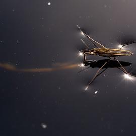 Superstar :) by Miroslav Ondříšek - Animals Insects & Spiders ( water, gerris lacustris, fauna, stars, sun )