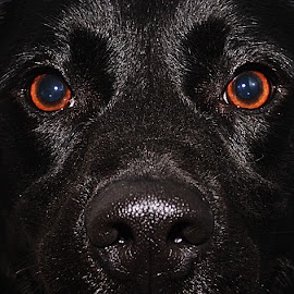 Black Eyes by Michael Cowan - Animals - Dogs Portraits (  )
