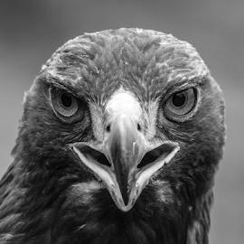 Golden Eagle by Garry Chisholm - Black & White Animals ( bird of prey, nature, garrychisholm, raptor, golden eagle )