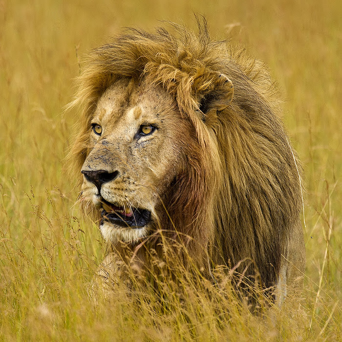 Lion in the grass i lions tigers big cats animals pixoto gumiabroncs Image collections