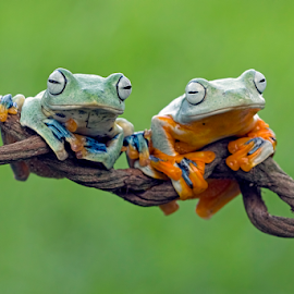 Jealous by Kurito Afsheen - Animals Amphibians ( canon, macro, tree frog, amphibian, frogs, animal )