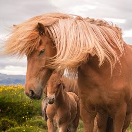 Ísold and Tristan by Anna Guðmundsdóttir - Animals Horses ( mare, icelandic horses, horses, íslenskir hestar, hestar, anna guðmundsdóttir, ísold, iceland, tristan, outdoor, ísland, animal, foal )