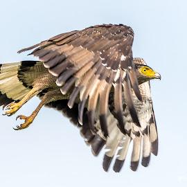Crested serpent eagle by Sanjeev Goyal - Animals Birds ( nikon, raptor, bird in flight, nature, bird of prey, raptor in flight, bird, eagle in flight, eagle, animal, wild, wildlife )