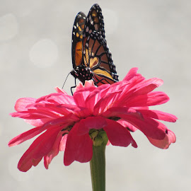 A Monarch Butterfly on a Pink Zinnia. by Lynne Miller - Animals Insects & Spiders ( maine, pink zinnia, alfred maine, lynne miller, monarch butterfly )