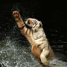 His Style by Jeffry Surianto - Animals Lions, Tigers & Big Cats