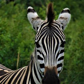 Zebra 2 by Vijay Govender - Animals Other ( animals, wildlife, zebra )