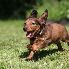 Little dachshund by Miroslav Socha - Animals - Dogs Puppies