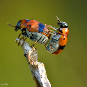 by Donald Jusa - Animals Insects & Spiders ( macro, nature, wildlife, insect, animal )