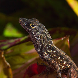 Lizard in the Yard by Janet Marsh - Animals Reptiles ( lizard, maui,  )