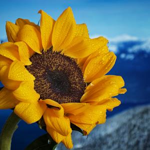 P2200136-Sunflower.jpg