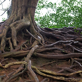Roots by Ingrid Anderson-Riley - Nature Up Close Other plants (  )