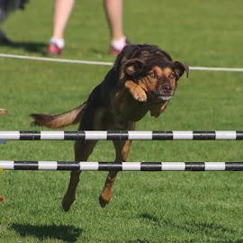 Determination Plus !!!! by Sal Robinson - Animals - Dogs Running
