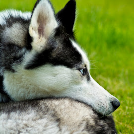 I'm watching you by Paula NoGuerra - Animals - Dogs Puppies ( playing, husky, puppy, dog, animal,  )